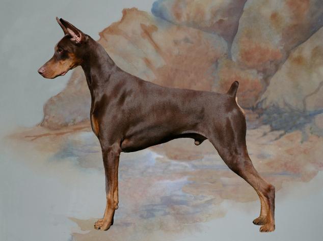 Dobermans, Doberman Pinscher breeder, Doberman puppy, puppies