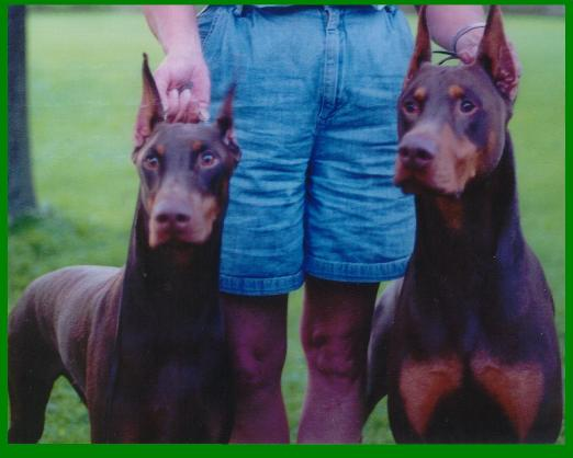 Dobermans, Doberman Pinscher breeder, Doberman puppy, puppies